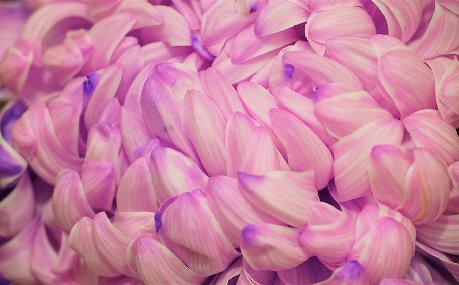 Purple Petals Photograph
