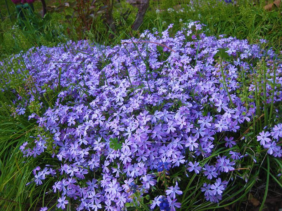 Flowers Photograph - Purple Phlox by Bonnie McKeegan