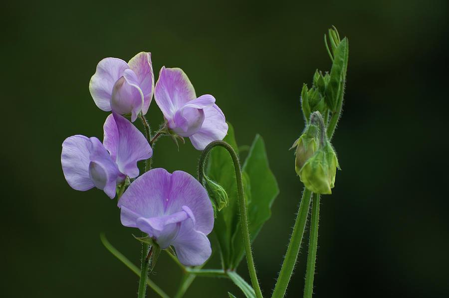 Purple Sweet Peas Photograph