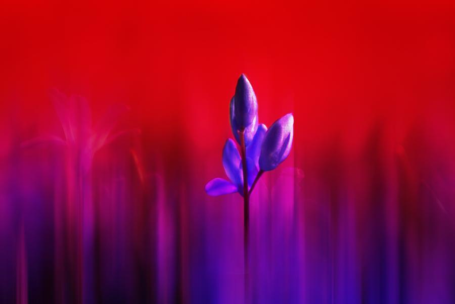 Purple Tulip Haze by Joy of Life Arts Gallery