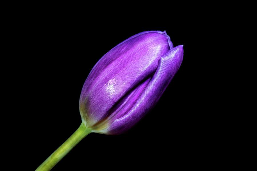 Purple Photograph - Purple Tulip by Zev Steinhardt