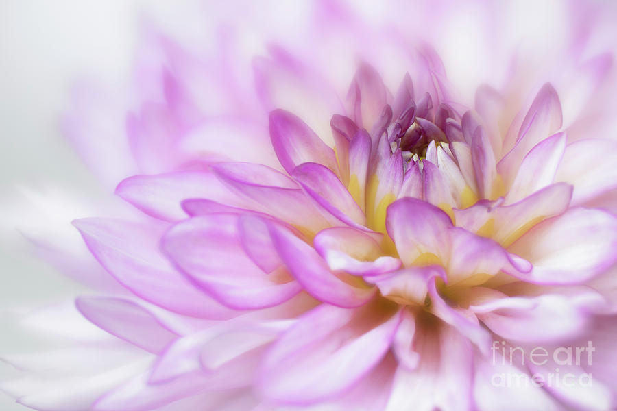 Purple. White And Yellow Dahlia Photograph