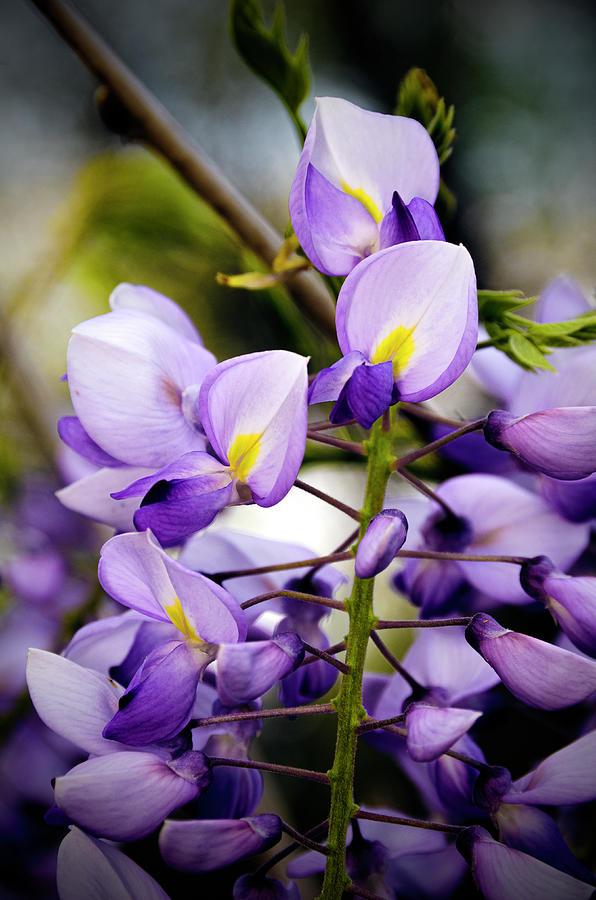 Purple Wisteria Photograph