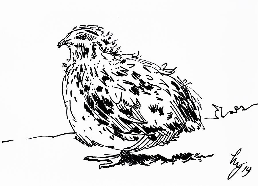 Quail drawing - black and white bird sketch by Mike Jory