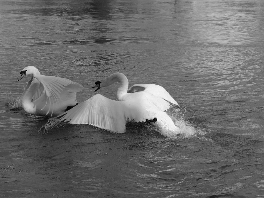 Quarreling Swans In River Thames, Windsor, Berkshire Photograph