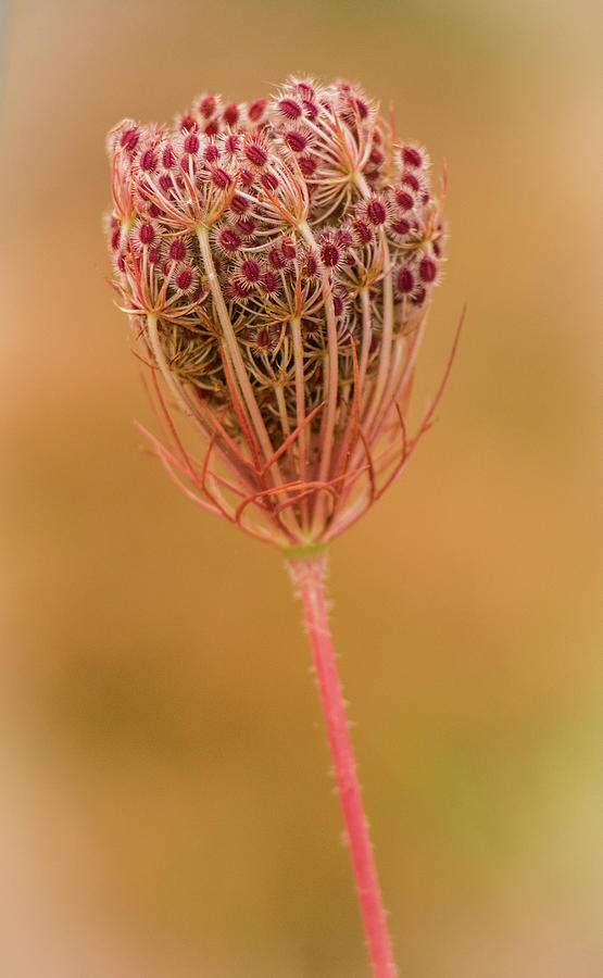 Flowers Photograph - Queen Annes Lace by Venetia Featherstone-Witty