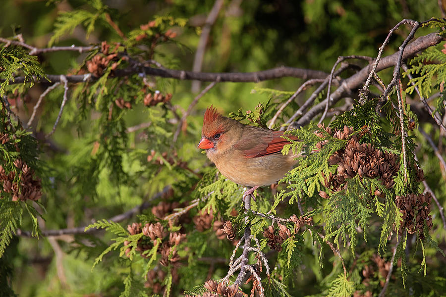 Queen of the cedars - Female Northern Cardinal - cadinalis cardi by Spencer Bush
