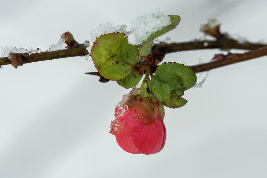 Quince and Snow by Robert Potts