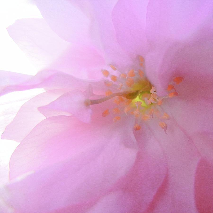 Quintessence Of A Cherry Tree Blossom Photograph