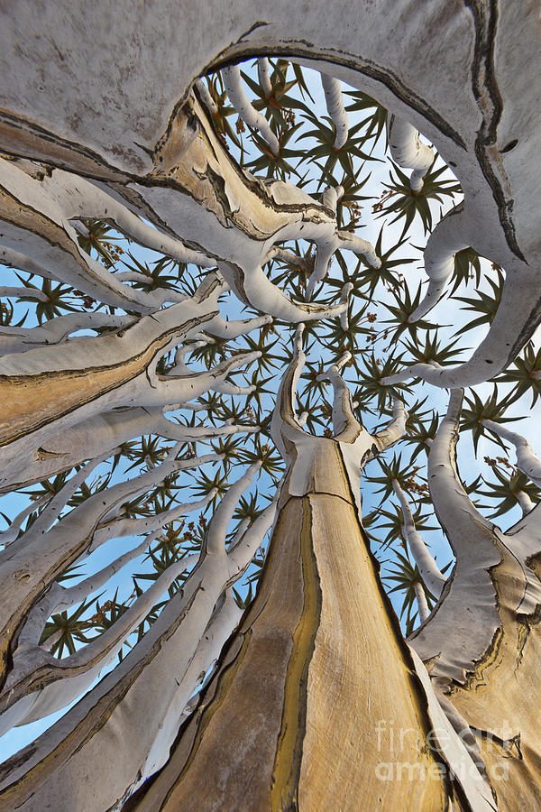 Quiver Tree, Namib Desert by Yva Momatiuk and John Eastcott