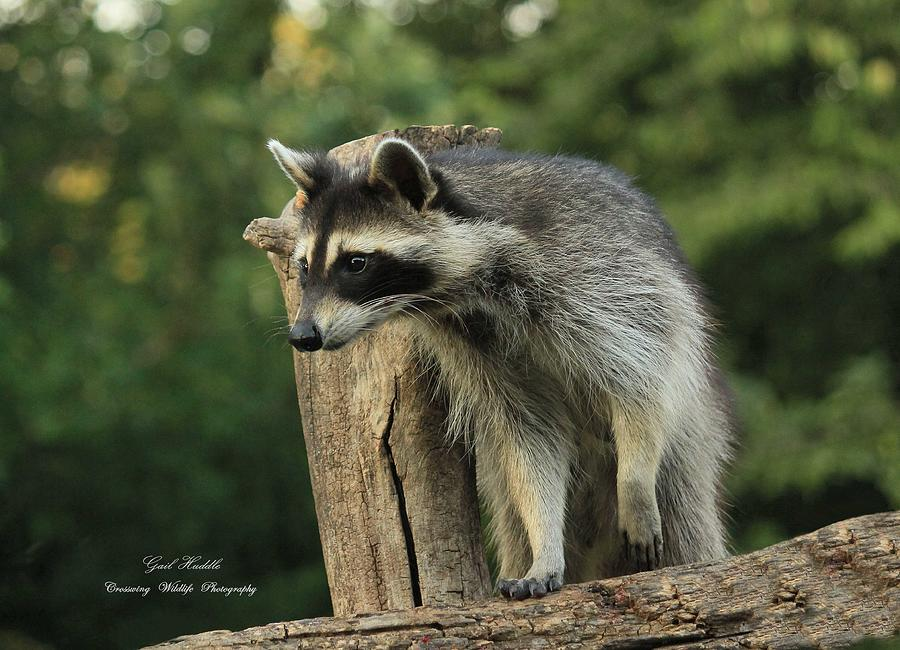 what family is the raccoon from
