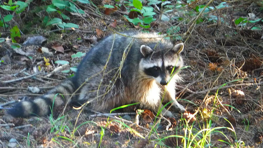 Racoon Photograph - Racoon Friend by YHWHY Vance