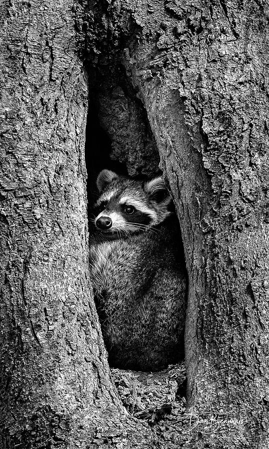 Raccoon In Hollow 7385 Photograph