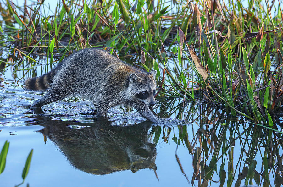 Raccoon by Juergen Roth