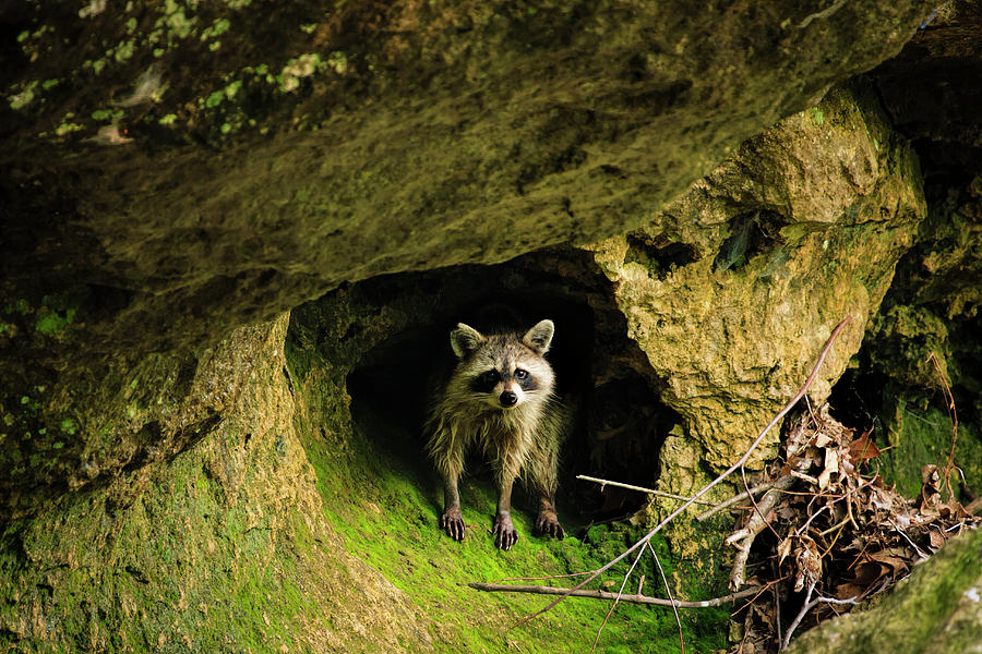 Raccoon by Scott Bean