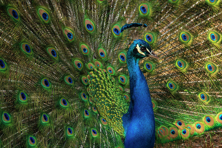 Greensboro Science Center Photograph - Radiant Plumage by Melissa Southern