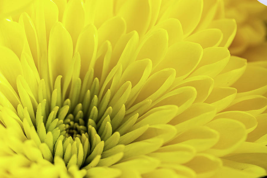 Radiant Yellow Chrysanthemum Photograph