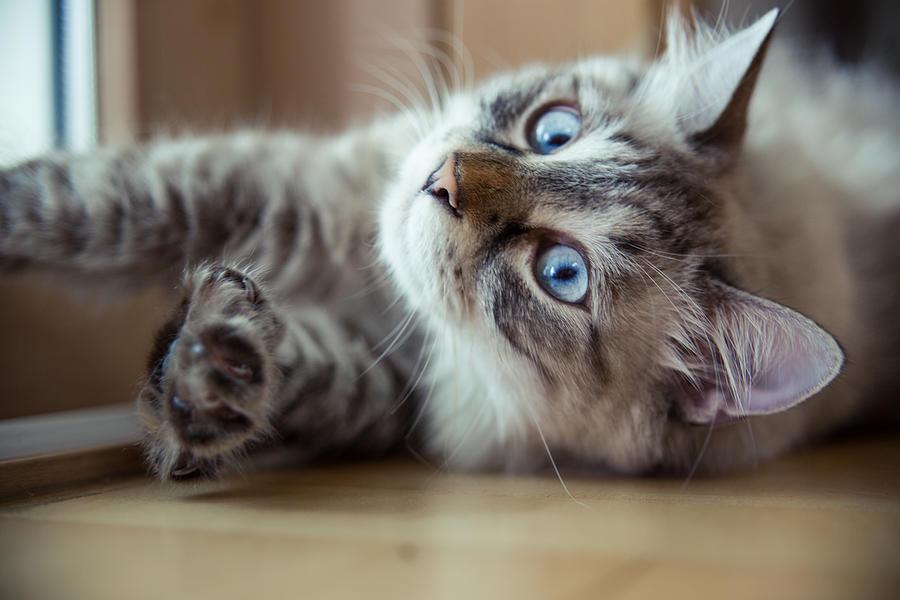 Ragdoll Cat Casper Photograph by Alex Barlow