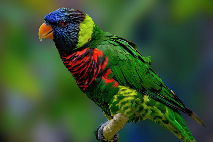 Rainbow lorikeet by Paul Wear