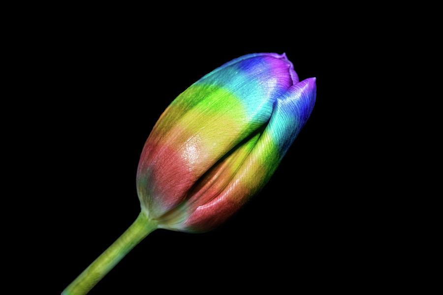 Rainbow Photograph - Rainbow Tulip by Zev Steinhardt