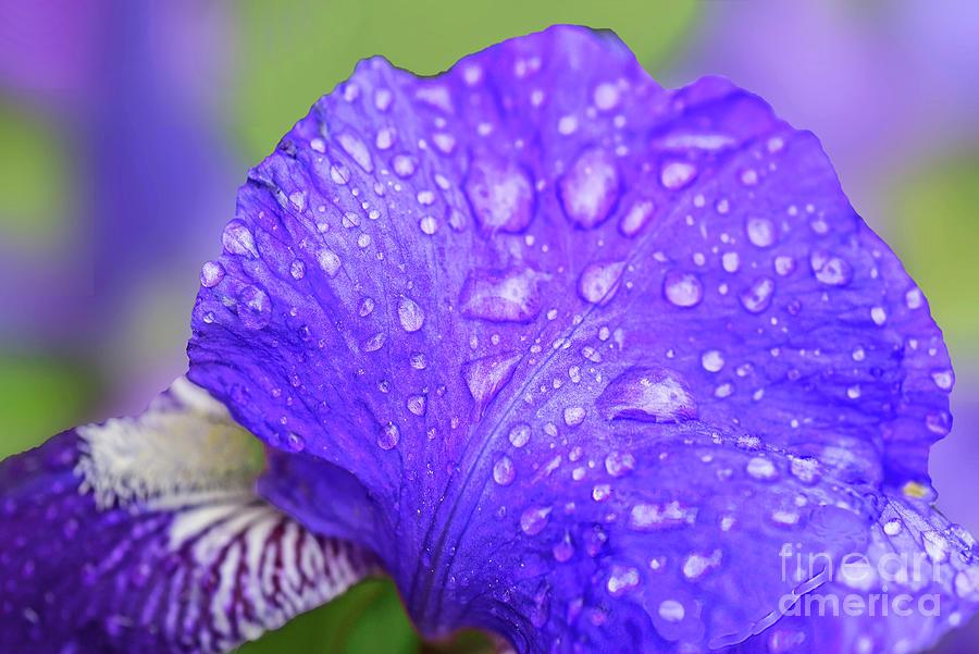 Raindrops On Iris Petals Photograph