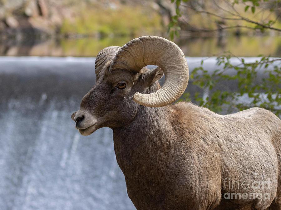Ram At The Dam Photograph