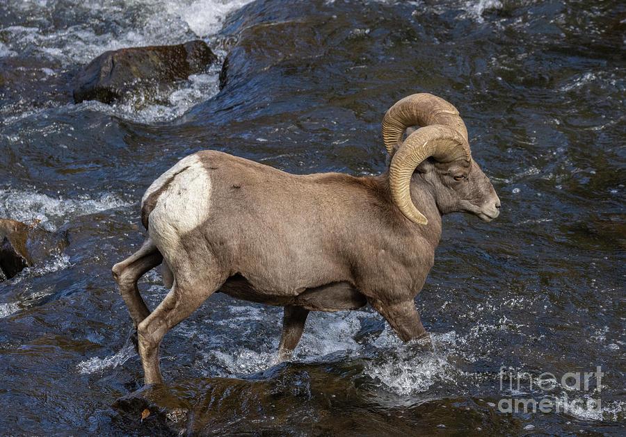 Ram Crossing The Platte Photograph