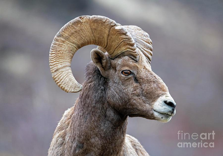 Ram Curl by Mike Dawson