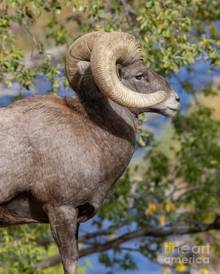 Ram Profile By The River Photograph