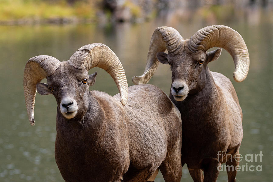 Rams At The River Photograph
