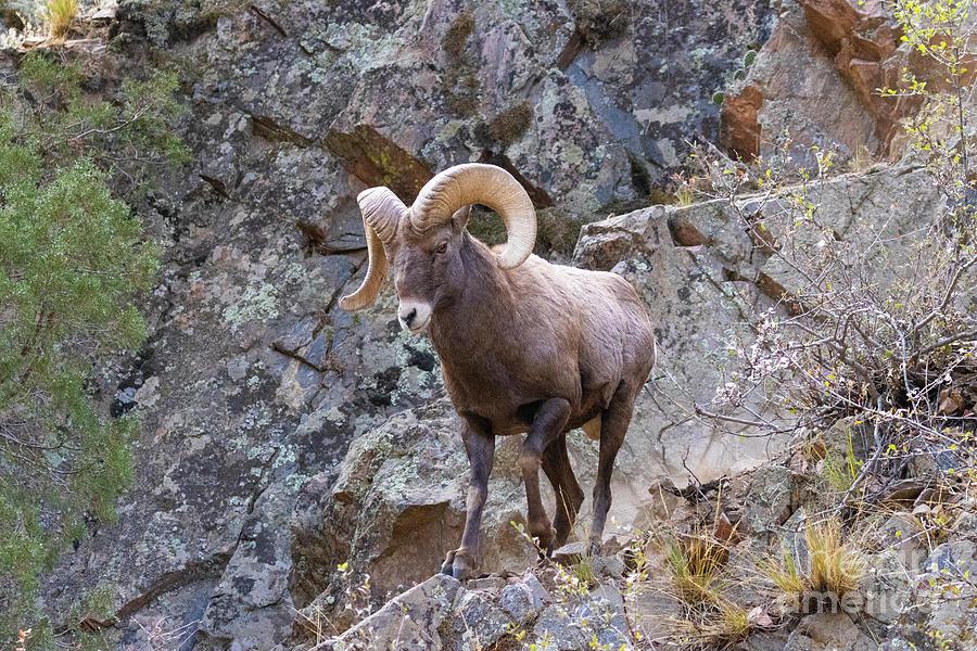 Rams On The Canyon Wall Photograph