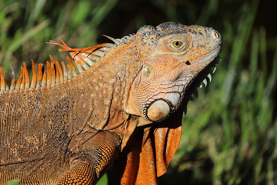 Ranches Iguana by Blair Damson