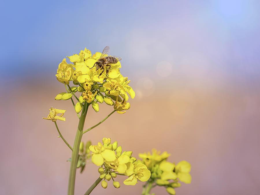 Rape Seed Flower Photograph