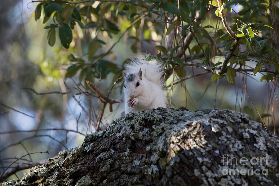 Rare And Beautiful, White Squirrel by Felix Lai