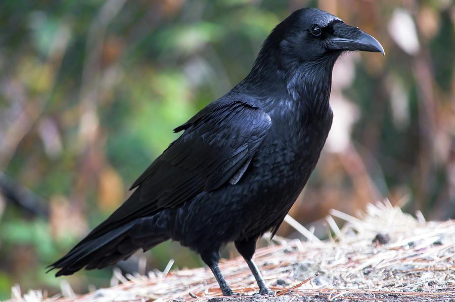 Raven - 1 Photograph