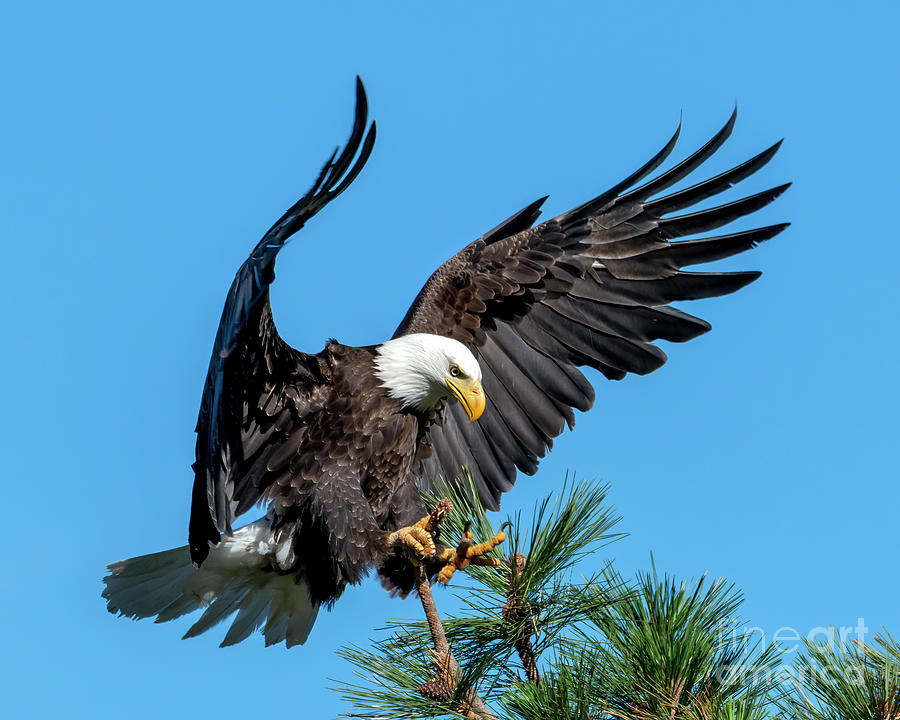 Eagle Photograph - Reach for the Top by Mike Dawson