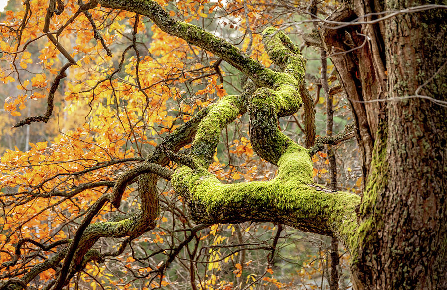 Forest Photograph - Reaching Autumn Branch by Nicklas Gustafsson