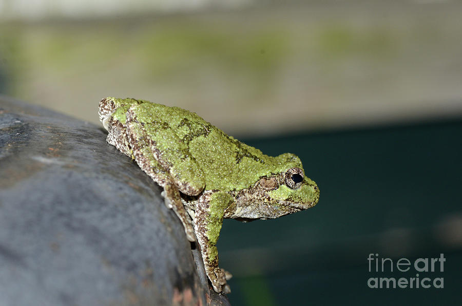 Ready to Leap - Tree Frog by The Ford Family