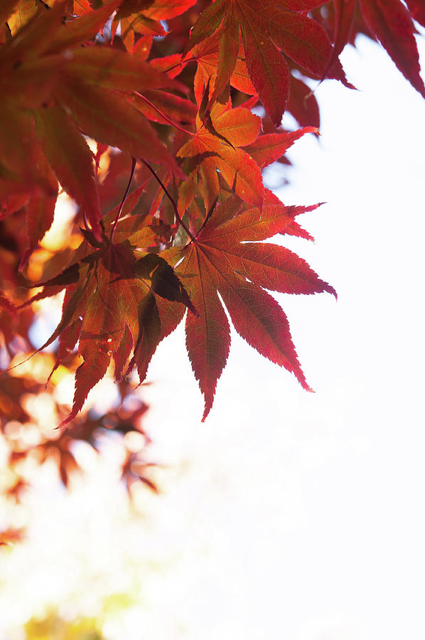 Red Acer Leaves by Jenny Rainbow