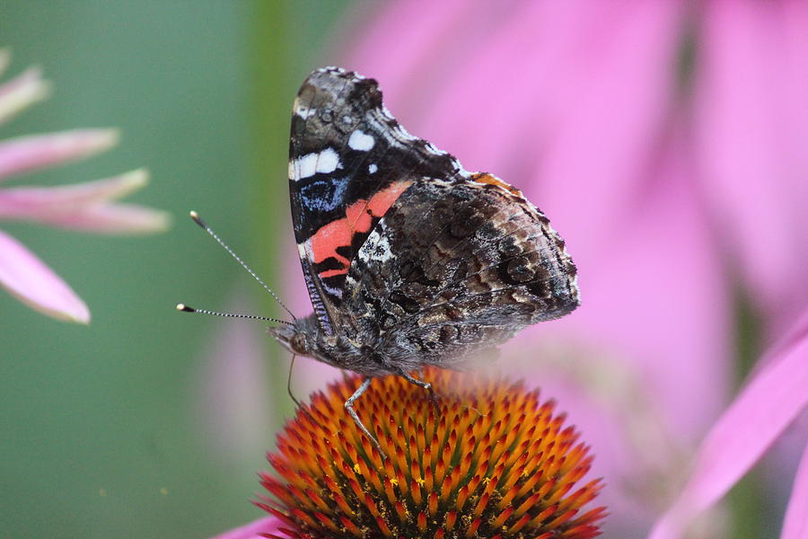 Red Admiral Photograph - Red Admiral by Callen Harty