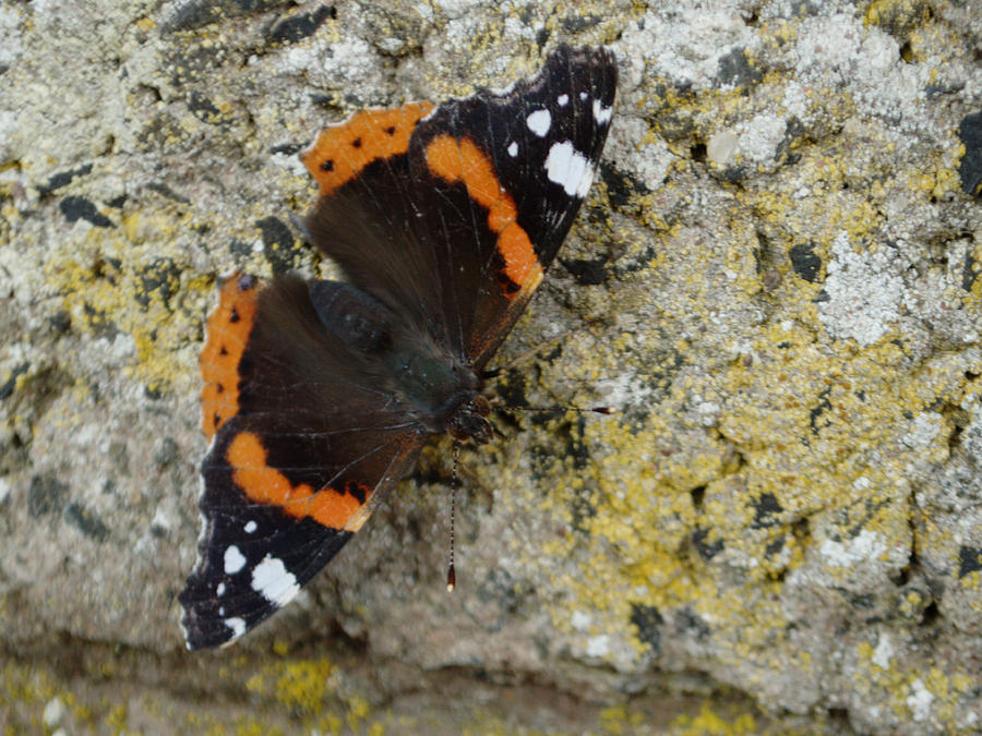 Red Admiral on Wall by Adrian Wale