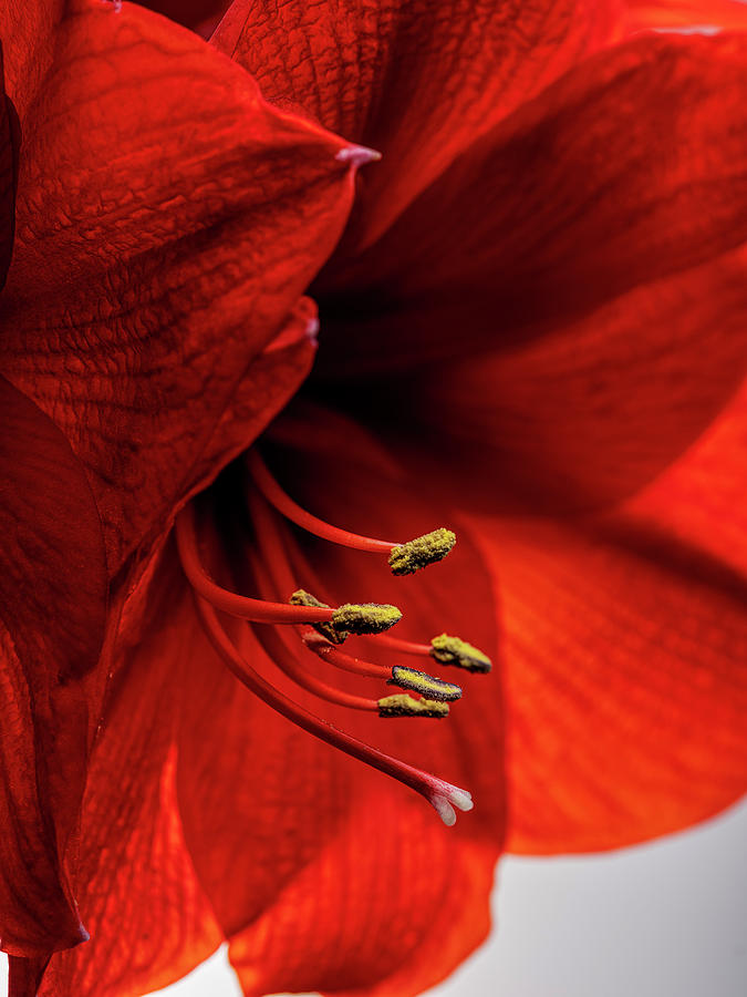 Red Amaryllis Photograph