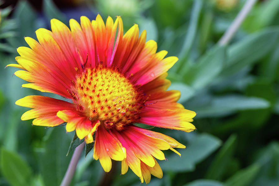 Red And Yellow Bloom Photograph