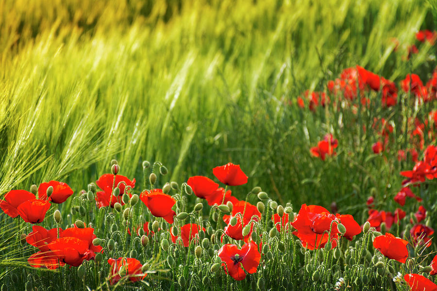 Agriculture Photograph - Red And Yellow Field by Vicente Sargues