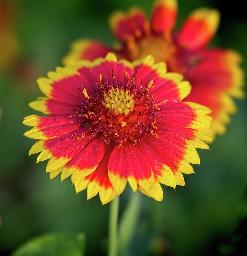 Red and Yellow Flower by Steve DaPonte