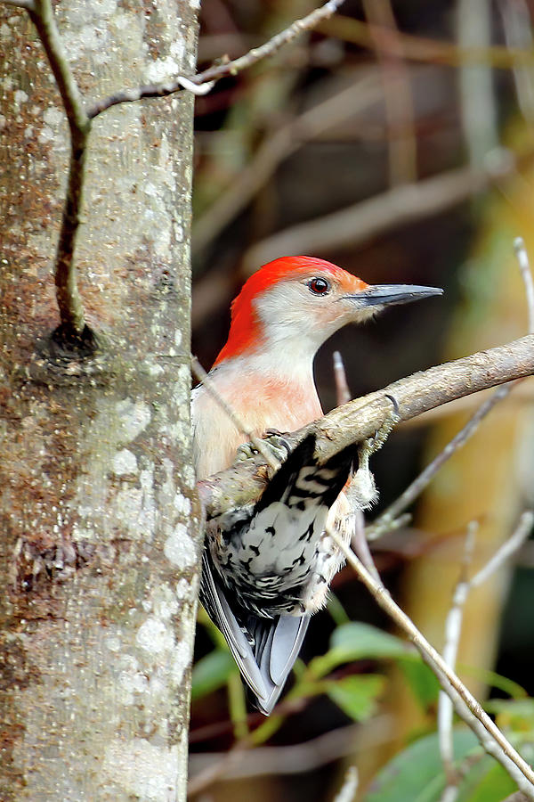 Red-bellied Acrobat Photograph