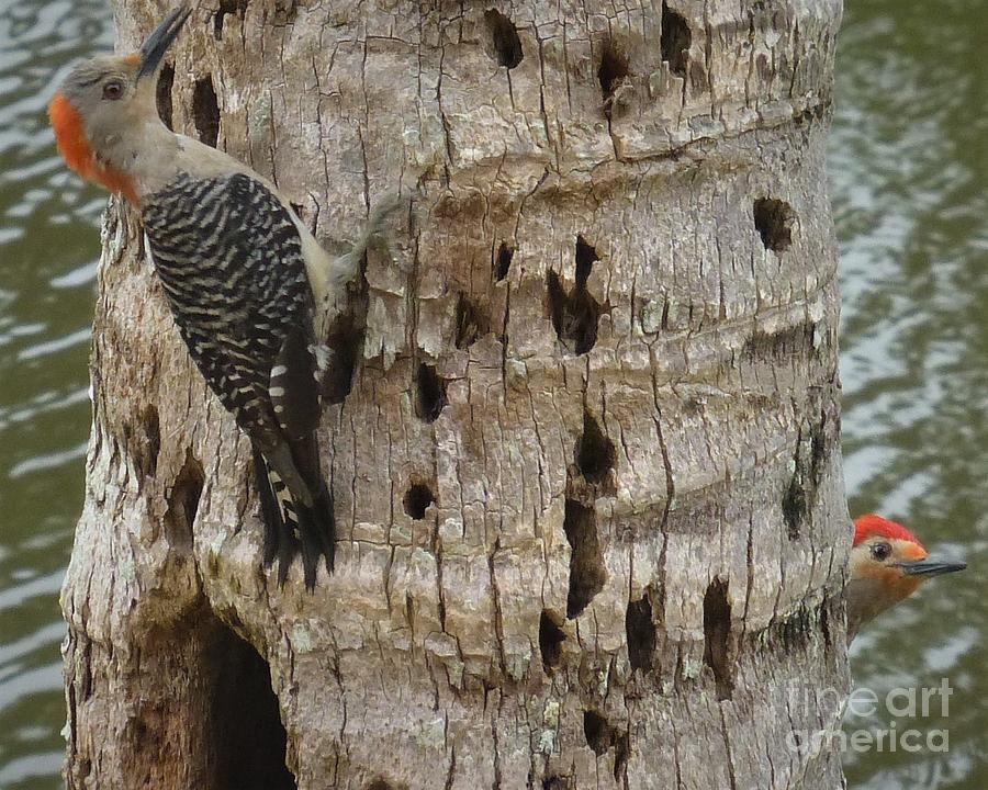 Red-bellied Woodpecker Couple Photograph