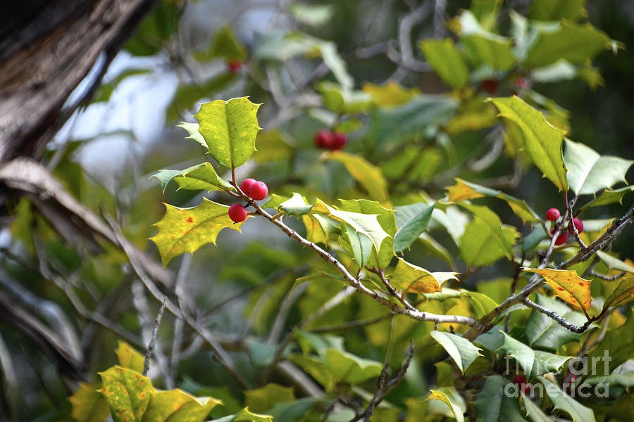 Red Berries by Phil Perkins