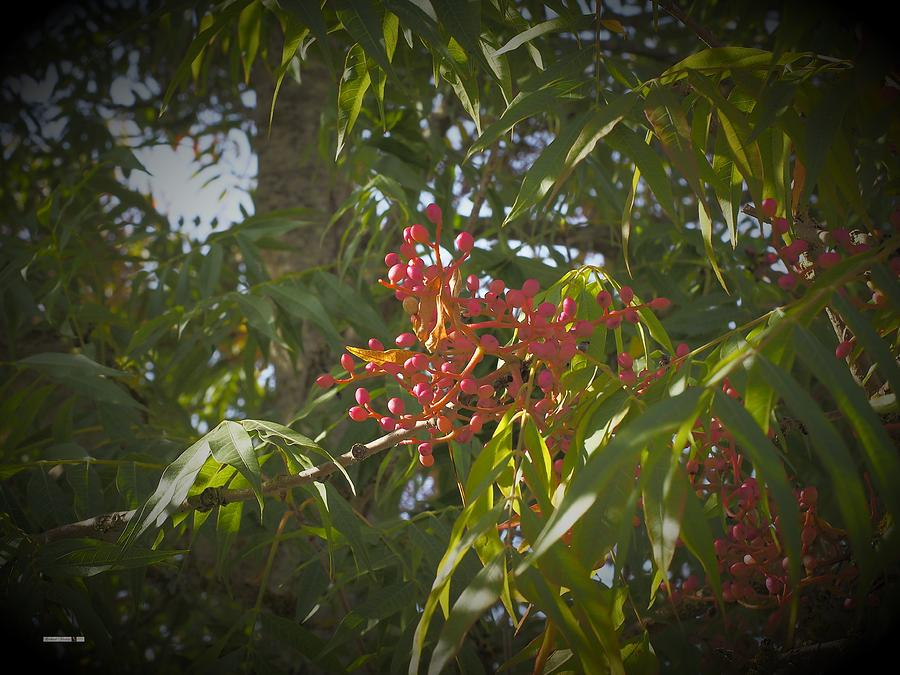 Red Berries by Richard Thomas
