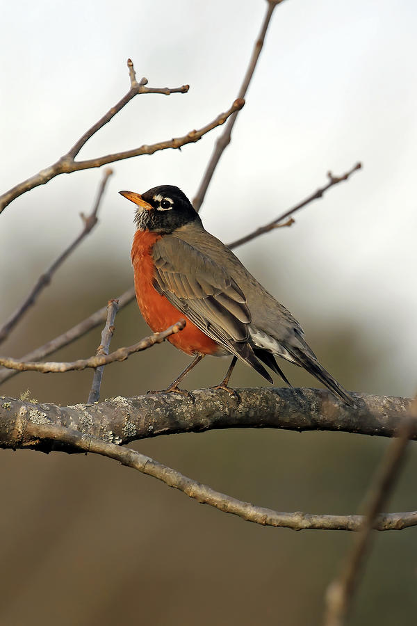 Red Breasted In Franklin Photograph